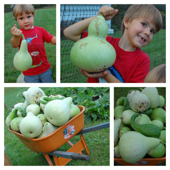 Green Gourd Harvest