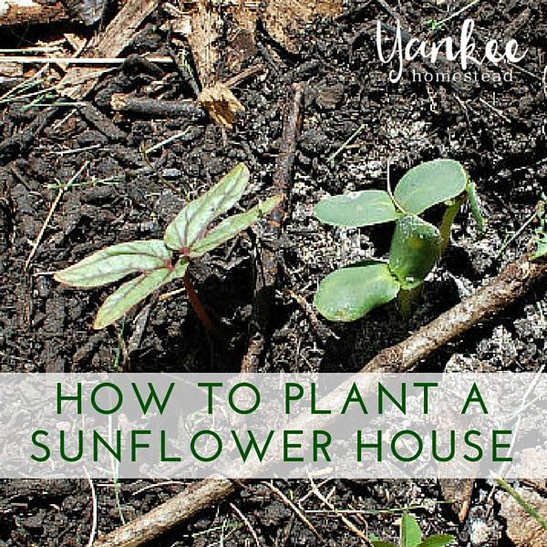 How to Plant a Sunflower House