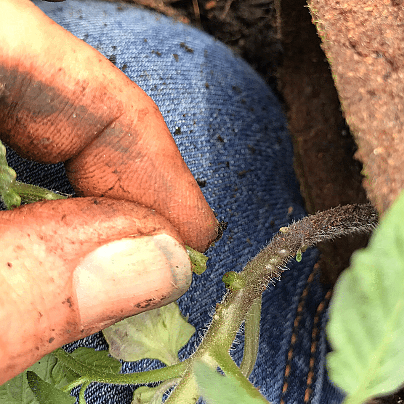 Are You Planting Tomatoes The Right Way | Roots & Boots