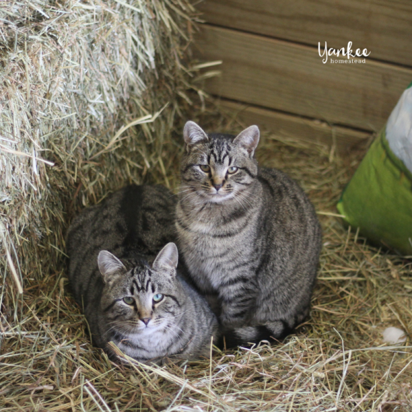 3 Reasons Why Your Homestead Needs a Barn Cat