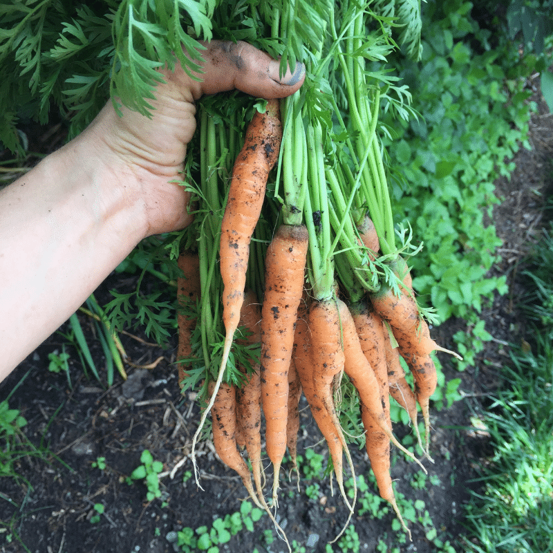 5 Secrets for Growing Better Carrots | Roots and Boots