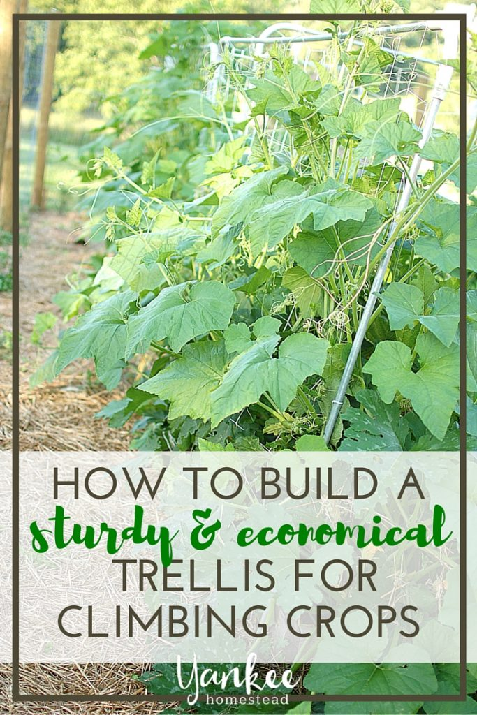 Do you grow zucchini, squash, pumpkins or other vining crops? You need this sturdy & economical trellis for climbing crops!