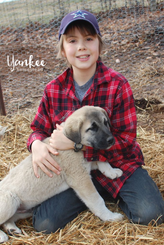 The Best Livestock Guardian Dog for Chickens | Yankee Homestead