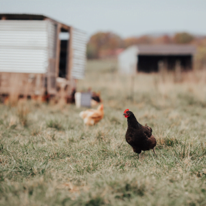 Why Our Chickens Stopped Laying