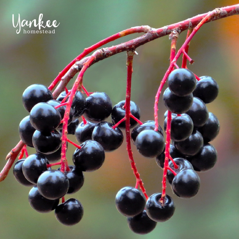 Boost Your Immune System with Homemade Elderberry Syrup | Yankee Homestead