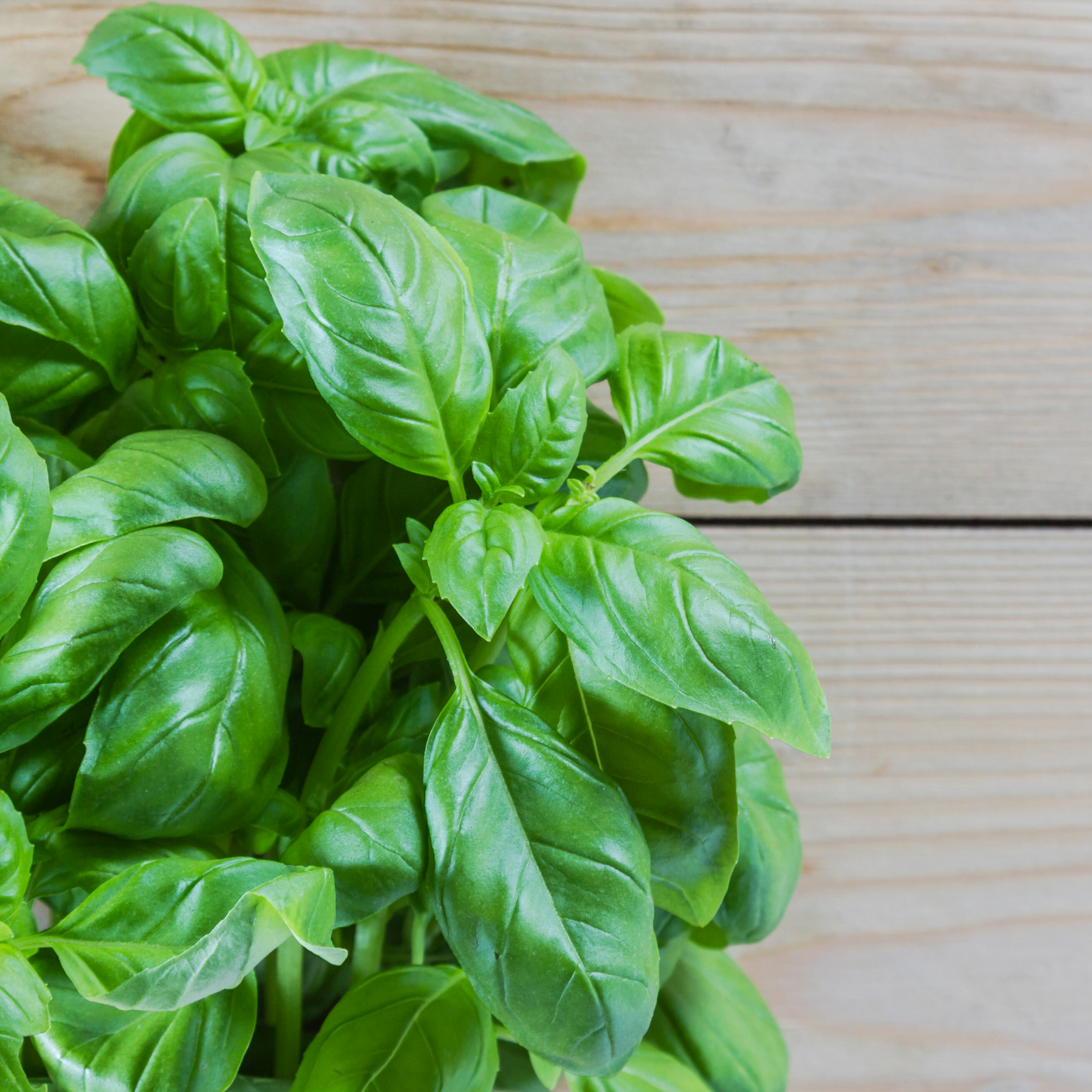 How to Prune Basil for the Best Flavor