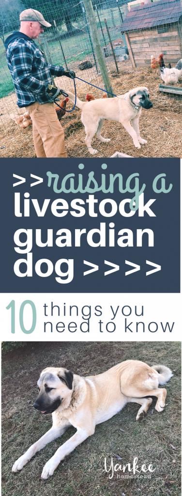 Livestock Guardian Dogs | Yankee Homestead