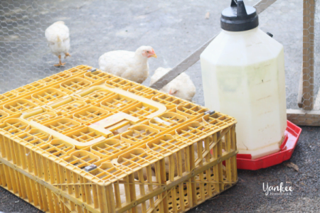 Our Big Meat Bird Mistake: How We Accidentally Killed 35 Chickens