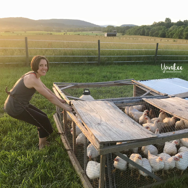 Our Big Meat Bird Mistake: How We Accidentally Killed 35 Chickens | Yankee Homestead