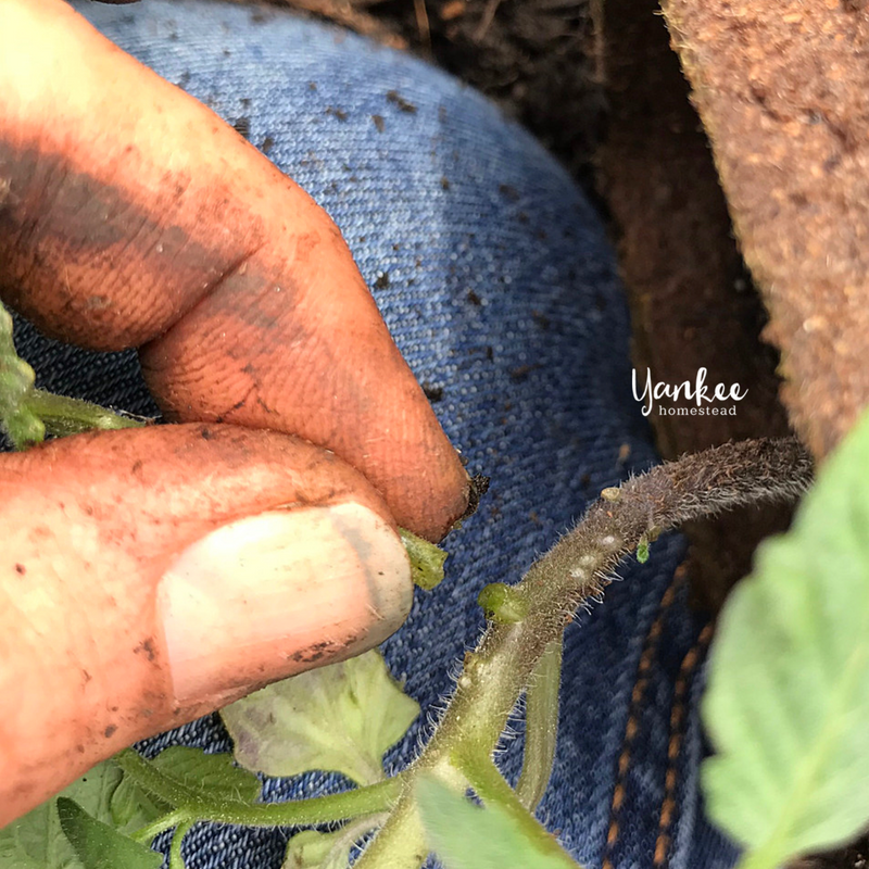 Are You Planting Tomatoes the Right Way? | Yankee Homestead