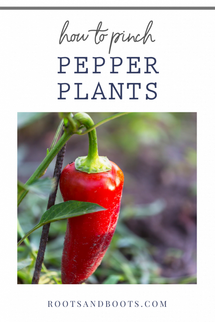 How to Pinch Pepper Plants | Roots & Boots