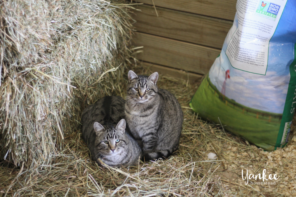 3 Reasons Why Your Homestead Needs a Barn Cat | Yankee Homestead