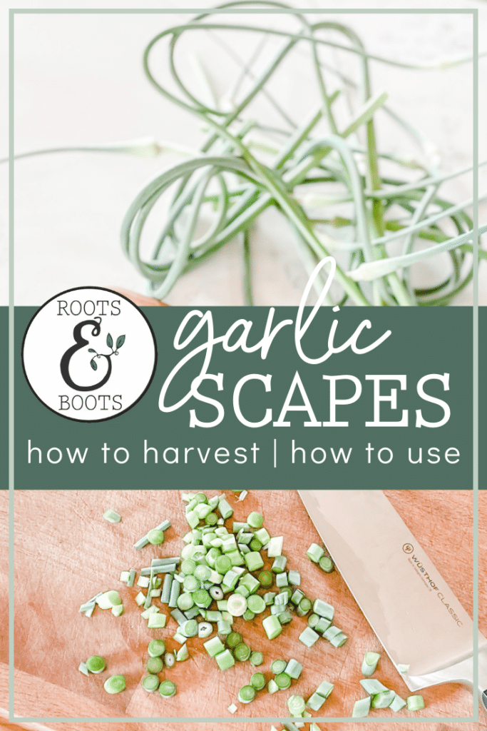 How to Harvest Garlic Scapes & How to Use Garlic Scapes | Roots & Boots