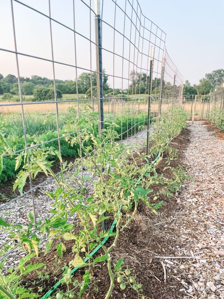 Tomato Trellis | Roots & Boots