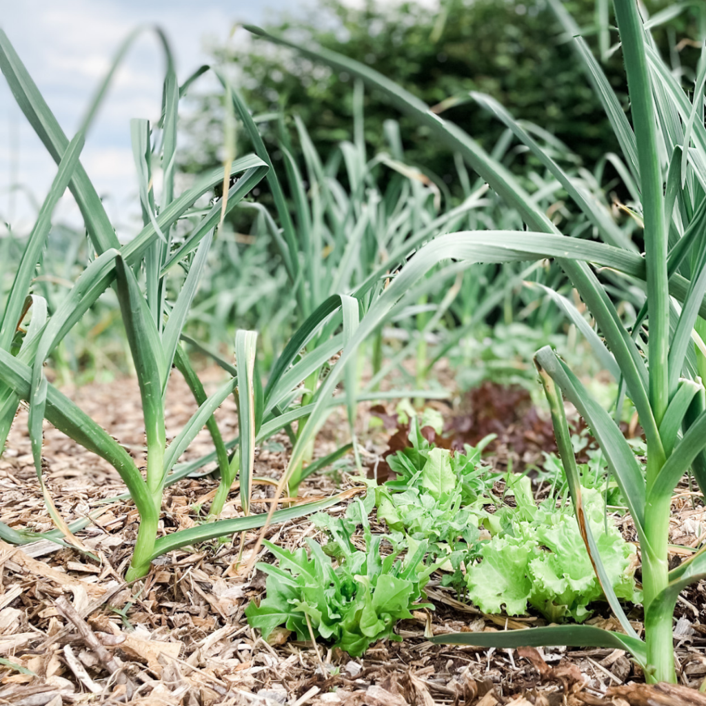 Grow More In The Same Space: Intercropping Lettuce With Garlic | Roots & Boots