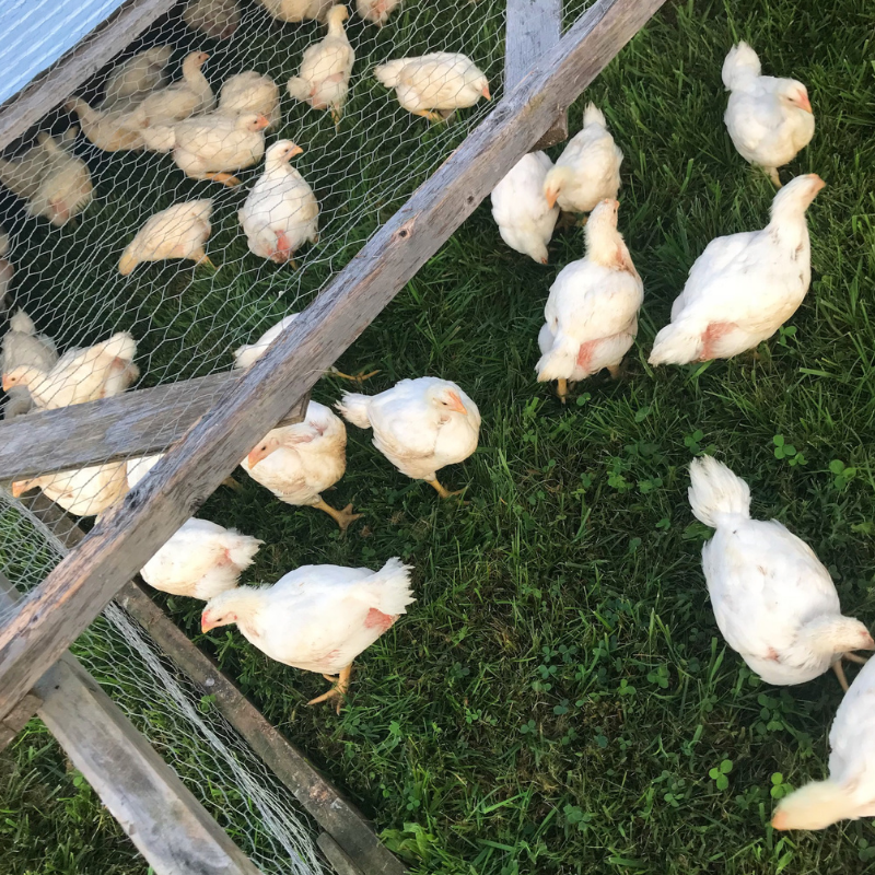The Real Cost of Raising Meat Birds | Roots & Boots