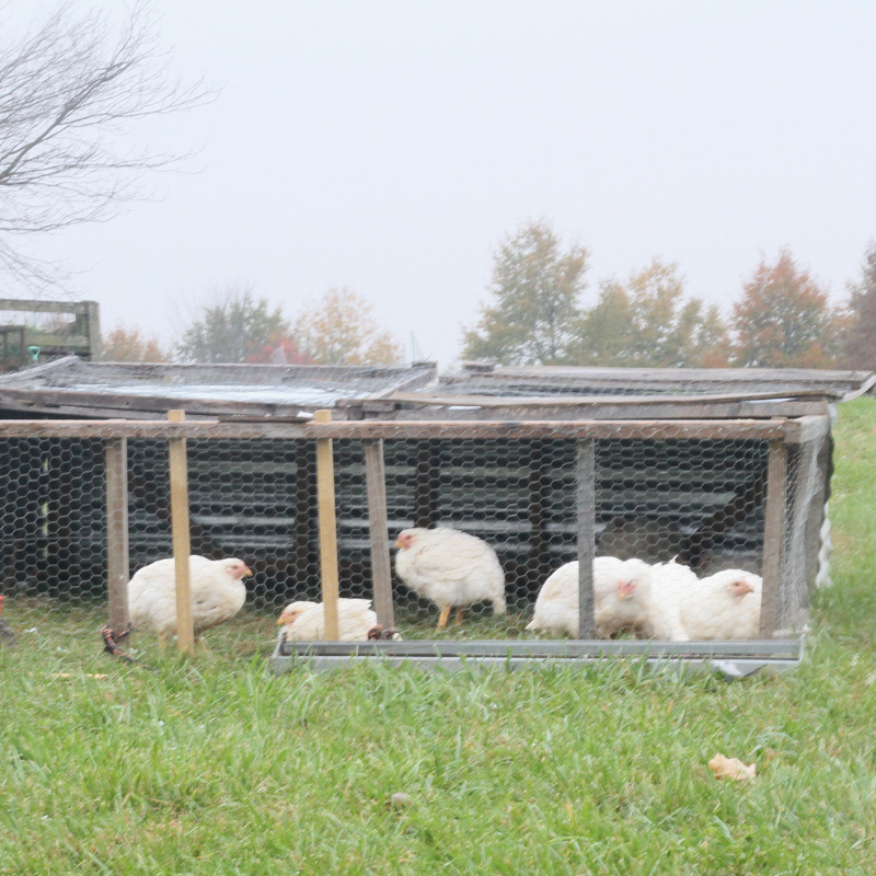 The Real Cost of Raising Meat Birds: Year Two